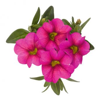 Calibrachoa Aloha Kona Hot Pink from Dummen Orange - Year of the Calibrachoa - National Garden Bureau