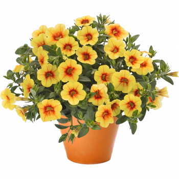 Calibrachoa Aloha Kona Pineapple from Dummen Orange - Year of the Calibrachoa - National Garden Bureau