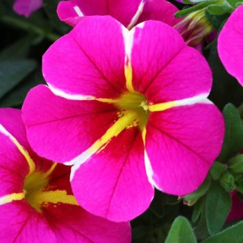 Calibrachoa Aloha Pink Cartwheel from Dummen Orange - Year of the Calibrachoa - National Garden Bureau