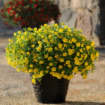 Calibrachoa Cabaret Deep Yellow from Ball Floral Plant - Year of the Calibrachoa - National Garden Bureau