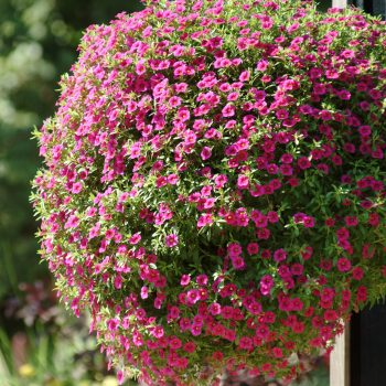 Calibrachoa Cabaret Rose from Ball Floral Plant - Year of the Calibrachoa - National Garden Bureau