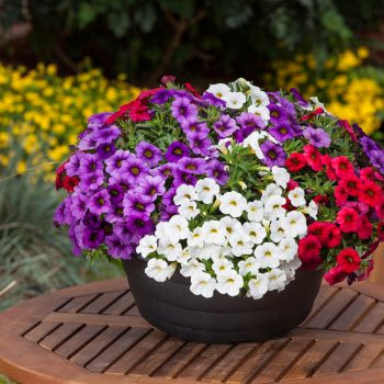 Calibrachoa Calipetite Red White Blue from Sakata Seed - Year of the Calibrachoa - National Garden Bureau