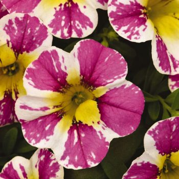 Calibrachoa Candy Shop Sweet Tart from Dummen Orange - Year of the Calibrachoa - National Garden Bureau