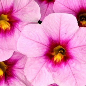 Calibrachoa Celebration Pink Doll from Dummen Orange - Year of the Calibrachoa - National Garden Bureau
