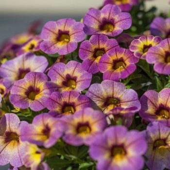 Calibrachoa Chameleon Blueberry Scone from Dummen Orange - Year of the Calibrachoa - National Garden Bureau