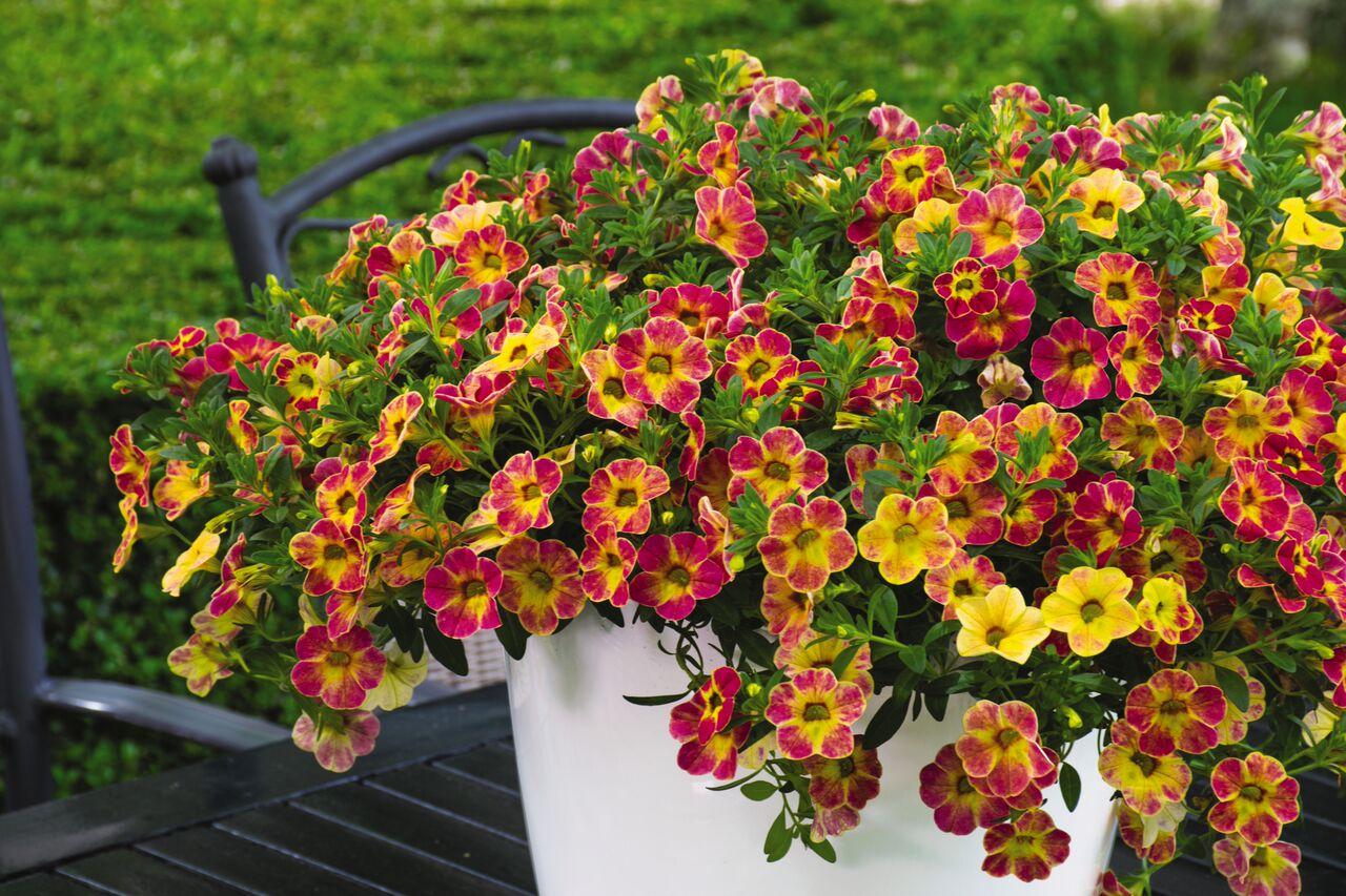 f0c81f56d45e Calibrachoa Chameleon Sunshine Berry from Dummen Orange - Year of the  Calibrachoa - National Garden Bureau