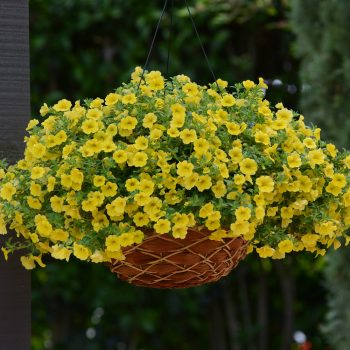 Calibrachoa Kabloom Yellow from GardenTrends - Year of the Calibrachoa - National Garden Bureau