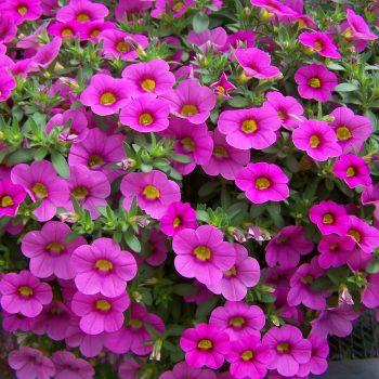 Calibrachoa Million Bells Brilliant Pink form Suntory - Year of the Calibrachoa - National Garden Bureau