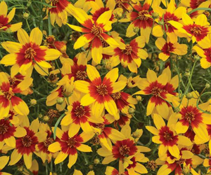 Coreopsis - Sizzle & Spice Curry Up - Jung
