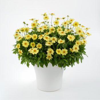 Coreopsis Solanna Glow from Danziger - Year of the Coreopsis - National Garden Bureau