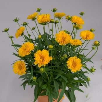 Coreopsis Solanna Golden Crown from Danziger - Year of the Coreopsis - National Garden Bureau