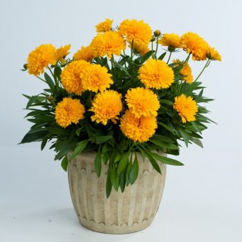 Coreopsis Solanna Golden Sphere from Danziger - Year of the Coreopsis - National Garden Bureau