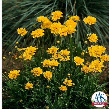 Coreopsis Early Sunrise All-America Selection Winner - Year of the Coreopsis - National Garden Bureau