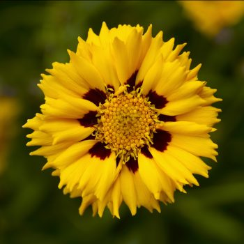 Coreopsis Andiamo Yellow Red from Syngenta - Year of the Coreopsis - National Garden Bureau