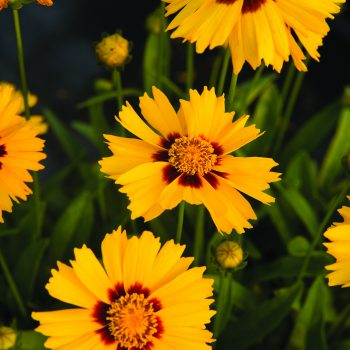 Coreopsis Corey Yellow from Syngenta - Year of the Coreopsis - National Garden Bureau