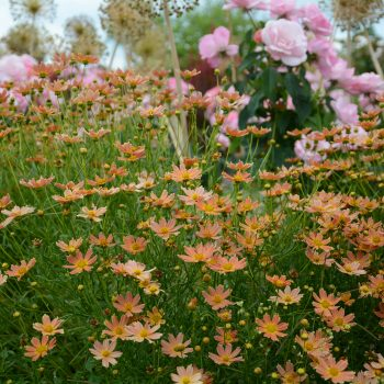 Coreopsis Crème Caramel from Star Roses and Plants - Year of the Coreopsis - National Garden Bureau