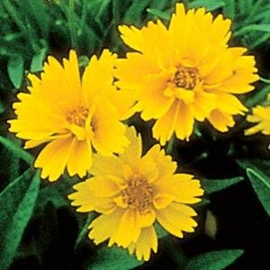 Coreopsis Early Sunrise - All-America Selection Winner - Year of the Coreopsis - National Garden Bureau