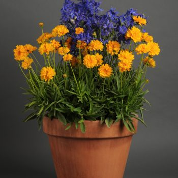 Coreopsis Early Sunrise from Kieft Seed - Year of the Coreopsis - National Garden Bureau