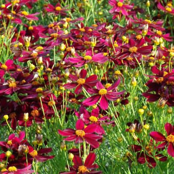 Coreopsis Permathread Red Satin from Dummen Orange - Year of the Coreopsis - National Garden Bureau