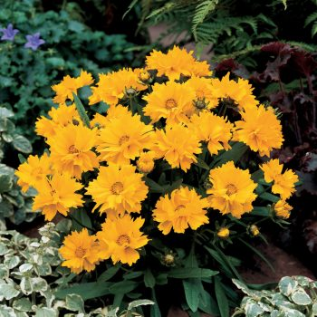 Coreopsis Presto from GardenTrends - Year of the Coreopsis - National Garden Bureau