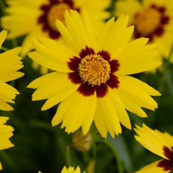 Coreopsis SunKiss from Kieft Seed - Year of the Coreopsis - National Garden Bureau