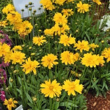 Coreopsis SunSwirl from Dummen Orange - Year of the Coreopsis - National Garden Bureau