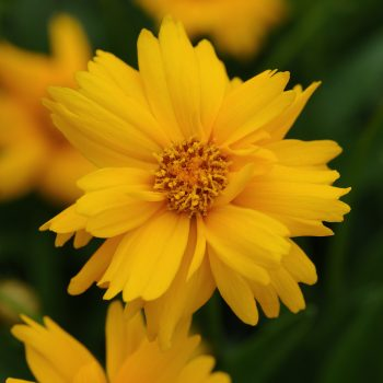 Coreopsis Sun Up Early Yellow from Kieft Seed - Year of the Coreopsis - National Garden Bureau