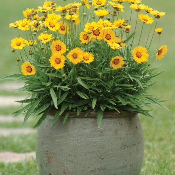 Coreopsis Sunfire from Kieft Seed - Year of the Coreopsis - National Garden Bureau