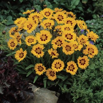 Coreopsis Sunfire from Garden Trends - Year of the Coreopsis - National Garden Bureau