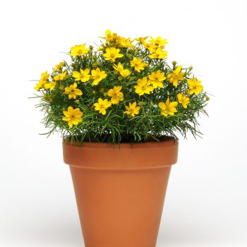 Coreopsis Sylvester from Darwin Perennials - Year of the Coreopsis - National Garden Bureau