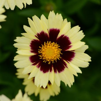 Coreopsis Up Tick Cream and Red from Darwin Perennials - Year of the Coreopsis - National Garden Bureau