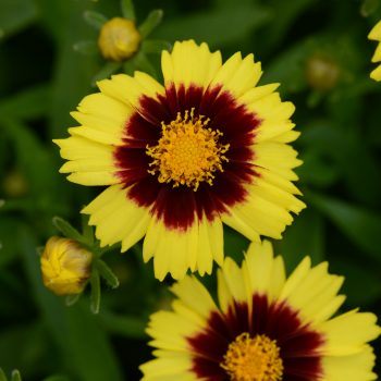 Coreopsis Up Tick Yellow and Red from Darwin Perennials - Year of the Coreopsis - National Garden Bureau