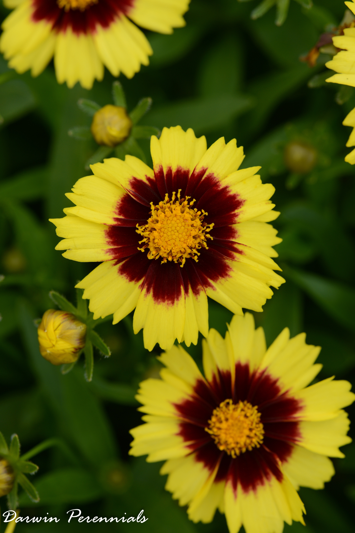 Coreopsis Up Tick Yellow And Red From Darwin Perennials   Year Of The  Coreopsis   National