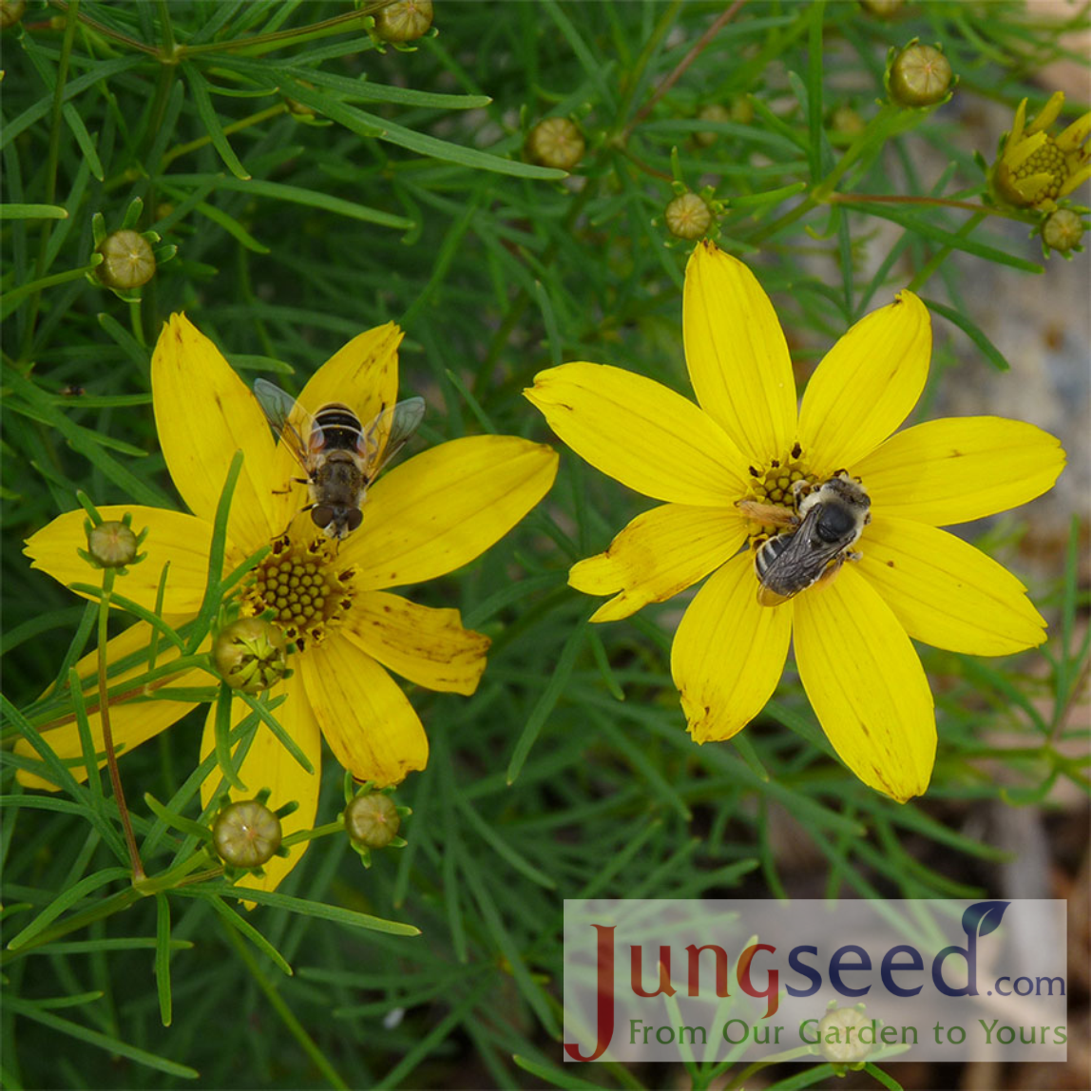 Coreopsis Verticillata Zagreb From Jung Seed   Year Of The Coreopsis    National Garden Bureau
