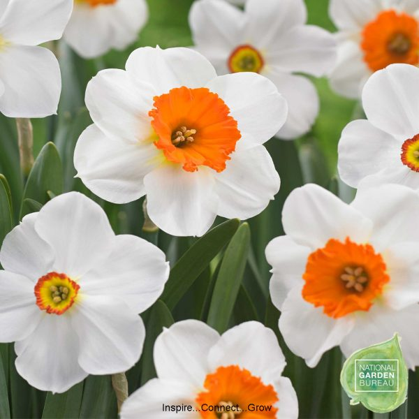 Daffodil Barrett Browning has pure white petals surrounding a red-orange cup. One of NGB top 10 favorite daffodils for your garden and home