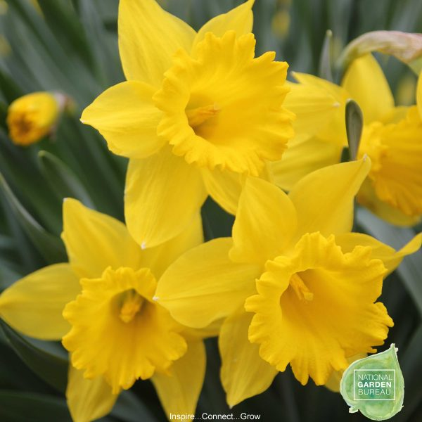 Daffodil Dutch Master - The iconic daffodil is big and yellow with a very large cup. A Top 10 Favorite from NGB