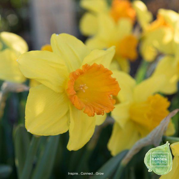 Daffodil Orange Progress have Deep yellow petals set off brilliant orange, tightly ruffled cups. One of NGB top 10 Daffodils!