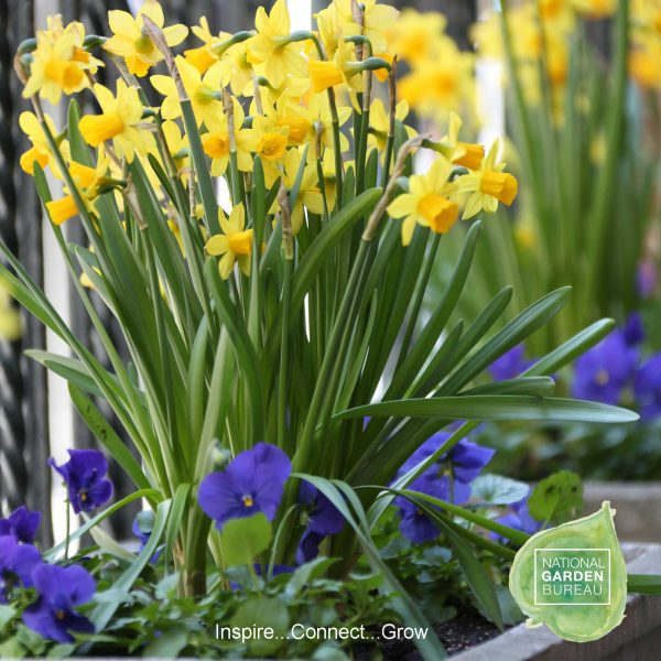 Daffodil Tete a Tete - This adorable miniature daffodil is among the longest-blooming, most versatile varieties you can grow.