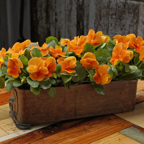 Deep Orange Pansies for a beautiful autumn table design
