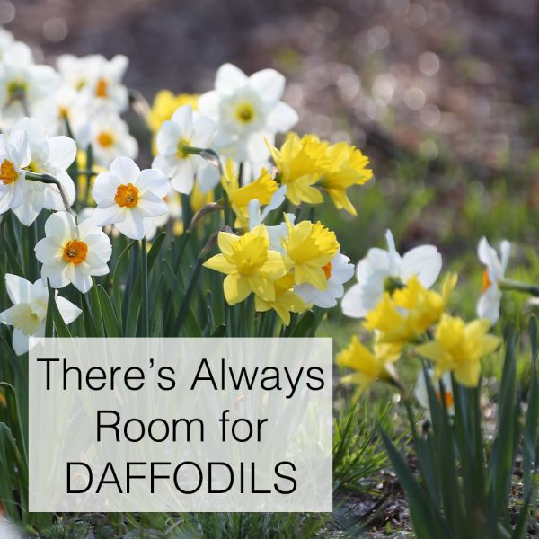 There is always room for Daffodils National Garden Bureau