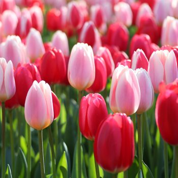 Tulip Delight Mix from Longfield Gardens - Year of the Tulip - National Garden Bureau