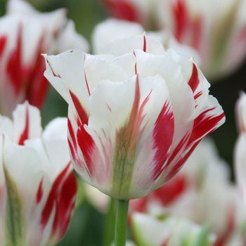 Tulip Flaming Spring Mix from Longfield Gardens - Year of the Tulip - National Garden Bureau