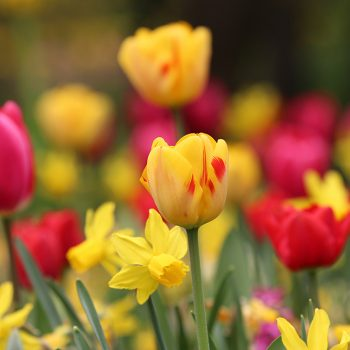 Tulip Olympic Flame from Longfield Gardens - Year of the Tulip - National Garden Bureau