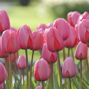 Tulip Pink Impression from Longfield Gardens - Year of the Tulip - National Garden Bureau