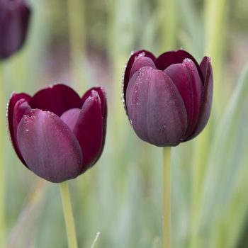 Tulip Queen of the Night from Longfield Gardens - Year of the Tulip - National Garden Bureau -