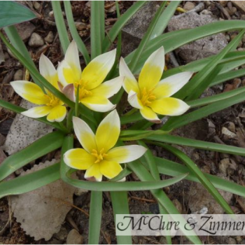 Tulip Tarda Tulip from McClure Zimmerman - Year of the Tulip - National Garden Bureau