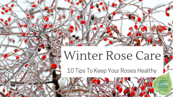 Winter Rose Care - 10 Tips To Keep Your Roses Healthy this Winter - National Garden Bureau
