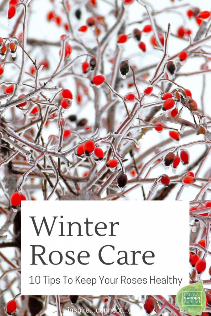Winter Rose Care - National Garden Bureau