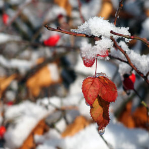 Rose plant in the winter, How to care for Your Roses in Fall and Winter from National Garden Bureau