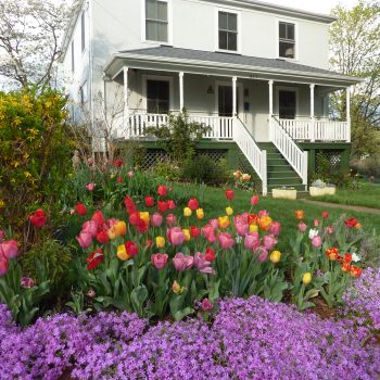 Tulips from American Meadows Customer Photo - Year of the Tulip - National Garden Bureau
